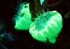 caulastrea-ultraviolet-closeup-macro-36