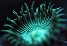 protopalythoa-ultraviolet-closeup-macro