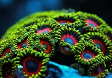 zoanthus-ultraviolet-closeup-macro-31