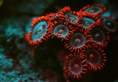 zoanthus-ultraviolet-closeup-macro-32