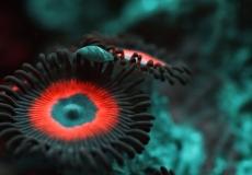 zoanthus-ultraviolet-closeup-macro-4