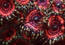 zoanthus-ultraviolet-closeup-macro