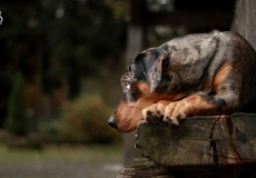catahoula-leopard-dog-3