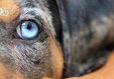dog-eye-blue-hund-auge-blau