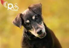 german-hunt-terrier-lisa