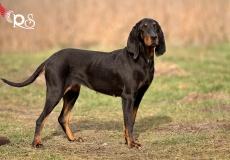 jura-laufhund-5