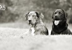louisiana-catahoula-leopard-dog-labrador