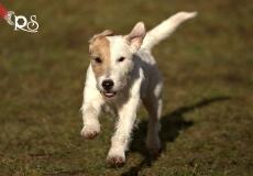 parson-russel-terrier-1
