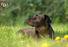 pearly-black-labrador-7