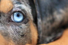 dog-eye-blue-hund-auge-blau