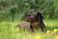 pearly-black-labrador-7