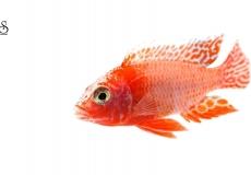 aulonocara-firefish-white-background1