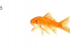 goldfish-white-background-21