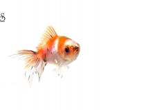 goldfish-white-background1