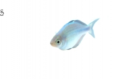 melanotenia-lacustris-white-background1
