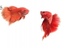 red-fighting-betta-white-background1