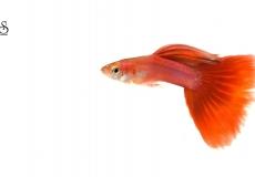 red-guppy-poecilia-reticulata-white-background1