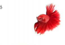 red-halfmoon-betta-white-background1