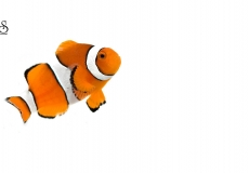 amphiprion-occelaris-clownfish-white-background1