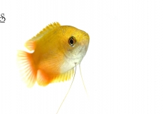 colisa-chuna-gourami-white-background1