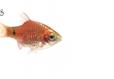 pethia-conchonius-barb-white-background1
