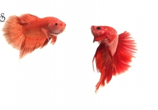 red-fighting-betta-white-background1
