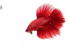 red-halfmoon-betta-white-background-21
