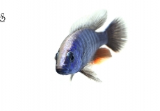sciaenochromis-fryeri-white-background1