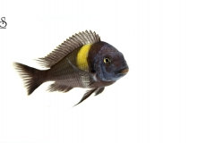 tropheus-moori-white-background1