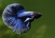 betta-splendens-blue-halfmoon-male2
