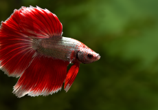 betta-splendens-red-dragon-halfmoon-male