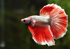 betta-splendens-red-dragon-halfmoon-male2 (1)