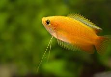 colisia-chuna-honey-gourami-honiggurami-fadenfisch