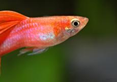 fullred-guppy-macro-closeup