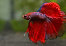 halfmoon-betta-splendens-red-male