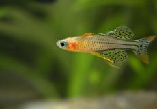 pseudomugil-gertrudae-macro-male