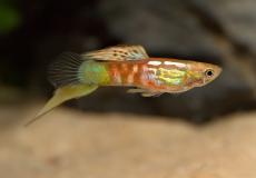 vienna-emerald-guppy-poecilia-reticulata