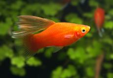 xyphophorus-maculatus-red-highfin-platy