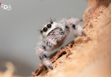 jumping-spider-1