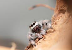 jumping-spider-2