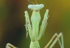 mantis-6